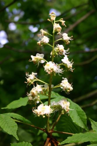 Weiße Kastanie - Wild Chestnut