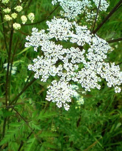 © Gisa, Aegopodium, Blüten